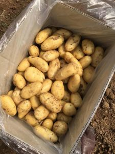 2016 New Potato pictures & photos