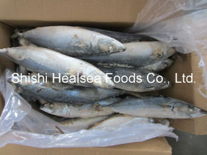 400-600g Scomber Japonicus Frozen Mackerel pictures & photos