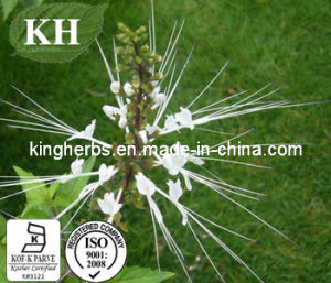 Nephrotic Syndrome Java Tea Extract; Polyphenols 40% Ratio Extract pictures & photos