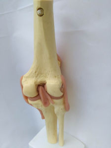 Lab Equipment Human Skeleton Knee Joint Anatomical Model (R020907) pictures & photos