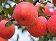 2016 Fresh Red FUJI Apple for American Market pictures & photos