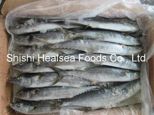 Sea Frozen Whole Round Spanish Mackerel pictures & photos
