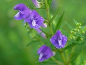 Barbed Skullcap Extract pictures & photos