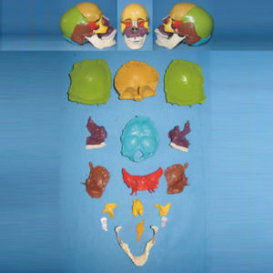 Natural Size Human Skull Dispersive Bone Skeleton Model (R050130) pictures & photos