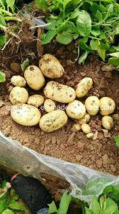 Fresh Potato pictures & photos