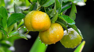 Competitive Price Fresh Sweet Orange pictures & photos