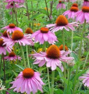Echinacea Purpurea High Quality Polyphenols 4% pictures & photos