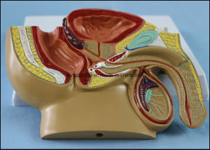 Medical Teaching Male Pelvis Anatomical Model with Common Disease pictures & photos