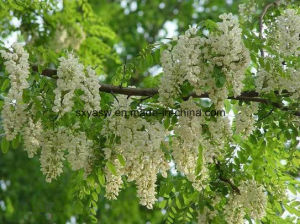 Natural Sophora Japonica Extract 98% Quercetin pictures & photos