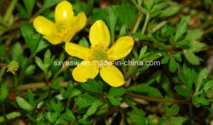 Natural Alkaloid Cat′s Claw Extract pictures & photos