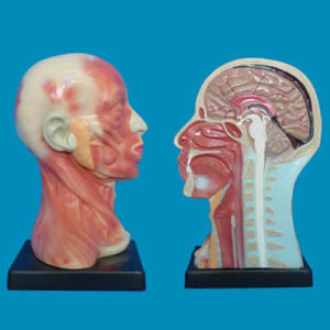 Human Head Neck Anatomy Parts Model for Medical Teaching (R050125) pictures & photos