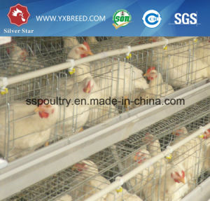Automatic H Type Broiler Chicken Cage for Pakistan Farms pictures & photos