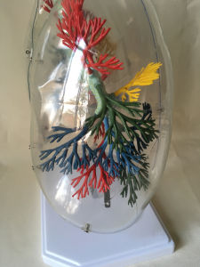 Medical Education Equipment Human Lung Anatomy Model pictures & photos