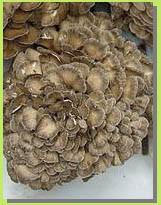 Maiitake Mushroom Extract