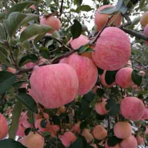 100, 113, 125# Blush Red FUJI Apple pictures & photos