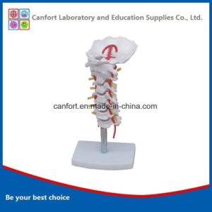 Human Cervix Model with Carotid Artery and The Occipital, Intervertebral Disc and Nerve pictures & photos