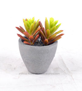 New Design Succulent Plants in Cement Pots pictures & photos