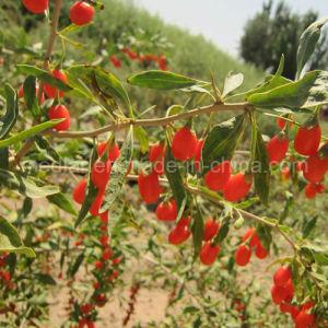 Medlar Goji Berry Wolfberry Vitamin pictures & photos