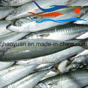 Great Taste Frozen Pacific Mackerel in Stock (PM011) pictures & photos