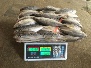 Chinese Frozen Horse Mackerel Fish Factory pictures & photos