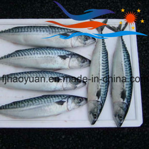 for Market Frozen on Board Pacific Mackerel (PM016) pictures & photos