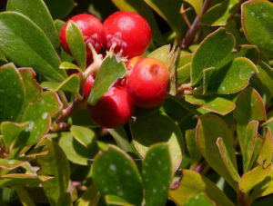 Bearberry Leaf Extract Alpha-Arbutin, Beta-Arbutin, Deoxyarbutin pictures & photos
