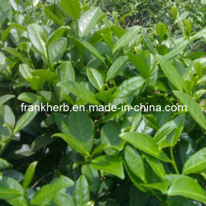 Organic Instant Oolong Tea Powder (Food and Drink Grade) (FH-M-020) pictures & photos