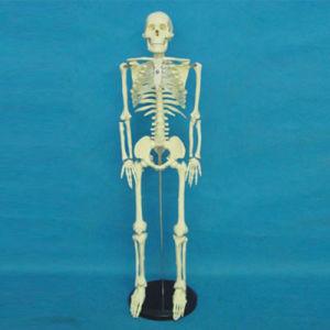 Lab Supplies Medical Teaching Human Skeleton Model (R020201) pictures & photos