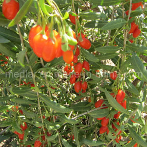 Ningxia Superfood--Healthy Red Goji Berries pictures & photos