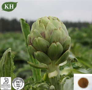 Natural Cynara Cardunculus Artichoke Extract Caffeoylquinic Acids pictures & photos