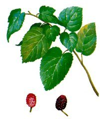 Mulberry Leaf Extract 1-Dnj 30% pictures & photos