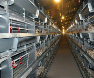 Chicken Poultry Cage Equipment Hot Dipped Galvanized Automatic (H type frame) for Small Chicken pictures & photos