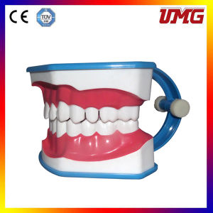 Dental Care Teeth Model pictures & photos