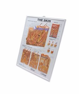 The Skin Anatomy 3D Wall Poster For Teaching pictures & photos