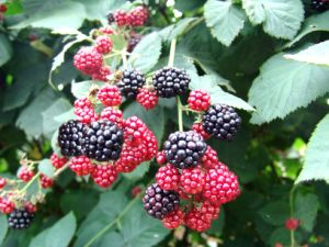 Zl-1046 Anic Blackberry Zl-1046 35