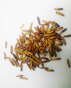 Live Insect Ostrinia Furnacalis Pupae for Sale pictures & photos