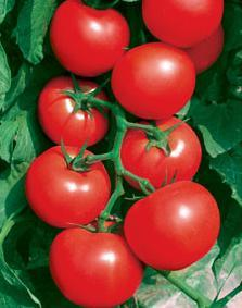 Tianfu 518 - Hybrid Tomato Seed (F1)