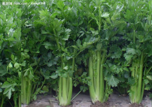 Natural Health Care Product of Celery Cellulose 95% /Celery Extract pictures & photos