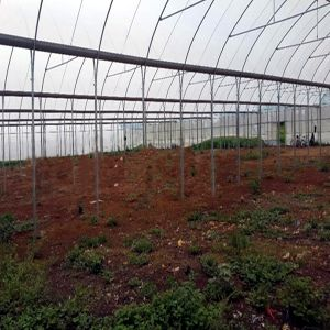 Commercial Gothic Film Greenhouse for Vegetable Growing pictures & photos