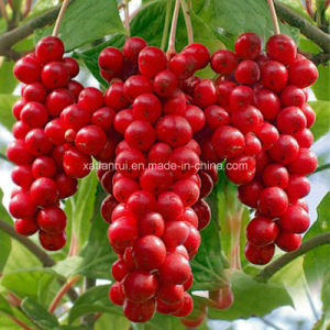 Factory Natural Schisandra Chinensis/Fructus Schisandrae Extract Powder pictures & photos