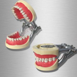 Sino Dental Typodont Dental Teeth Model Teaching Standard Dental Typodont pictures & photos