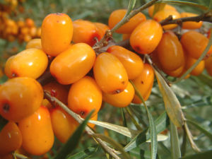 Sea Buckthorn Extract with Competitive Price and High Quality pictures & photos