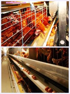 Poultry Farm Equipment for Chicken with House Construction pictures & photos