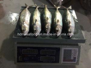 New Fish Indian Mackerel (150-200g) pictures & photos