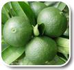 Citrus Aurantium L Hesperidin