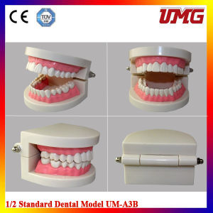 New Dental Teaching Study Adult Standard Typodont Demonstration Teeth Model pictures & photos