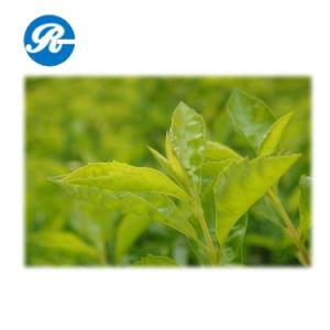Plant Extract Tea Polyphenol pictures & photos