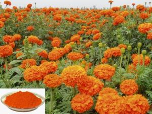 100% Pure Natural Marigold Extract Lutein Zeaxanthin pictures & photos