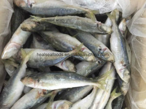 16cm+ Frozen Horse Mackerel Suit for Feed pictures & photos