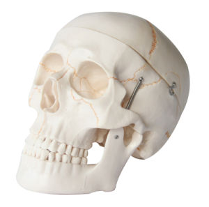 Human Numbered Skull Model pictures & photos